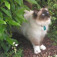 Ras Kucing Birman<br />