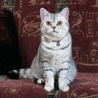 Ras Kucing British Shorhair<br />