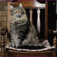 Ras Kucing Maine Coon<br />