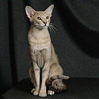 Ras Kucing Oriental Shorthair<br />