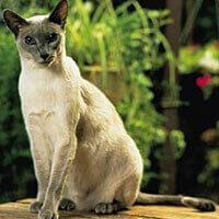 Ras Kucing Siamese<br />