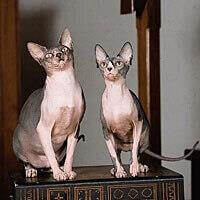 Ras Kucing Sphynx<br />