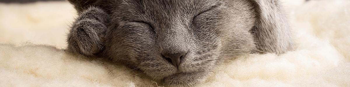 Koty rasowe: najpopularniejsze rasy – co należy o nich wiedzieć