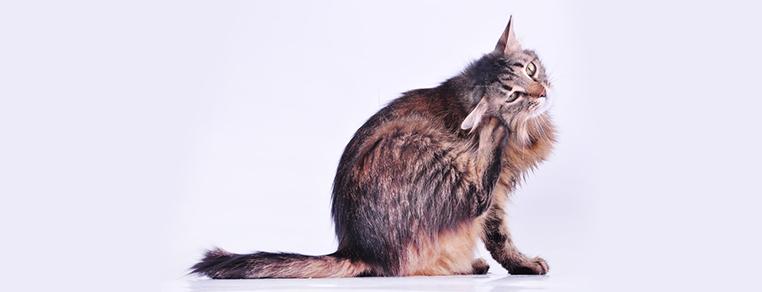 Czy świerzb u kota jest zagrożeniem dla człowieka?