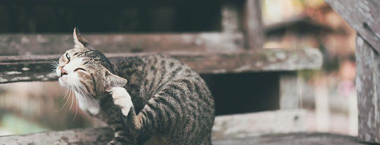 Pchły i pasożyty u kota – objawy i leczenie