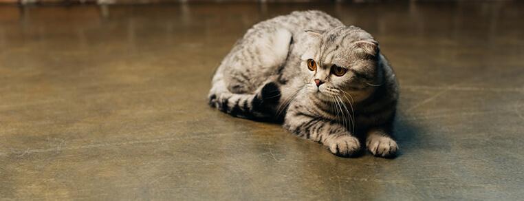 Żywienie kota po sterylizacji