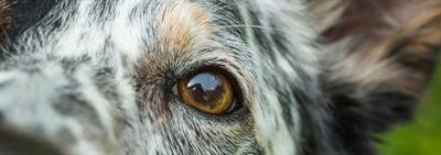 У собаки слезятся глаза, что это может быть?