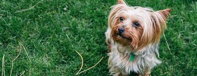 Как поставить уши щенку?