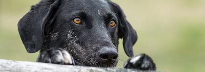 Проблемы ранней социализации собак: теоретические и практические аспекты