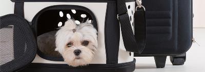 Как приучить собаку к машине?