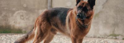 Аспекты содержания, разведения и воспитания собак служебных пород в современных условиях жизни