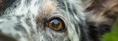 Органы чувств собаки: путеводители по жизни