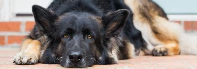 Как перевести собаку на сухой корм для собак?