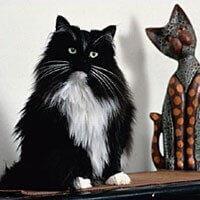 Nórska lesná mačka