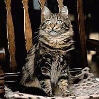 Sibírska lesná mačka