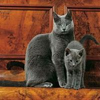 Baka Kucing Biru Rusia
