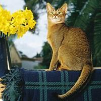 Kucing Baka Abisinia (Abyssinian)