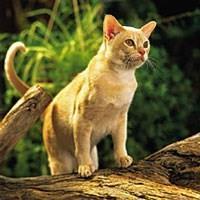 Baka Kucing Burma