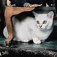 Kucing Baka Burmilla