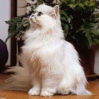 Baka Kucing Chinchilla