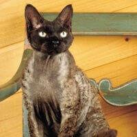 Baka Kucing Devon Rex