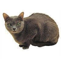 Baka Kucing Korat
