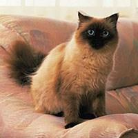 Baka Kucing Ragdoll