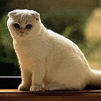 Kucing Scottish Fold Whiskas