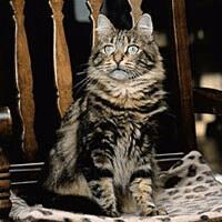 Baka Kucing Hutan Siberia