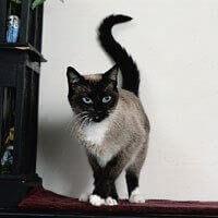 Baka Kucing Berkasut Salju (Snowshoe)