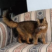 Baka Kucing Somali