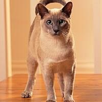 Baka Kucing Tonkinese
