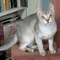 Singapura Cat Breed