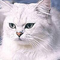 Tiffanie Cat Breed