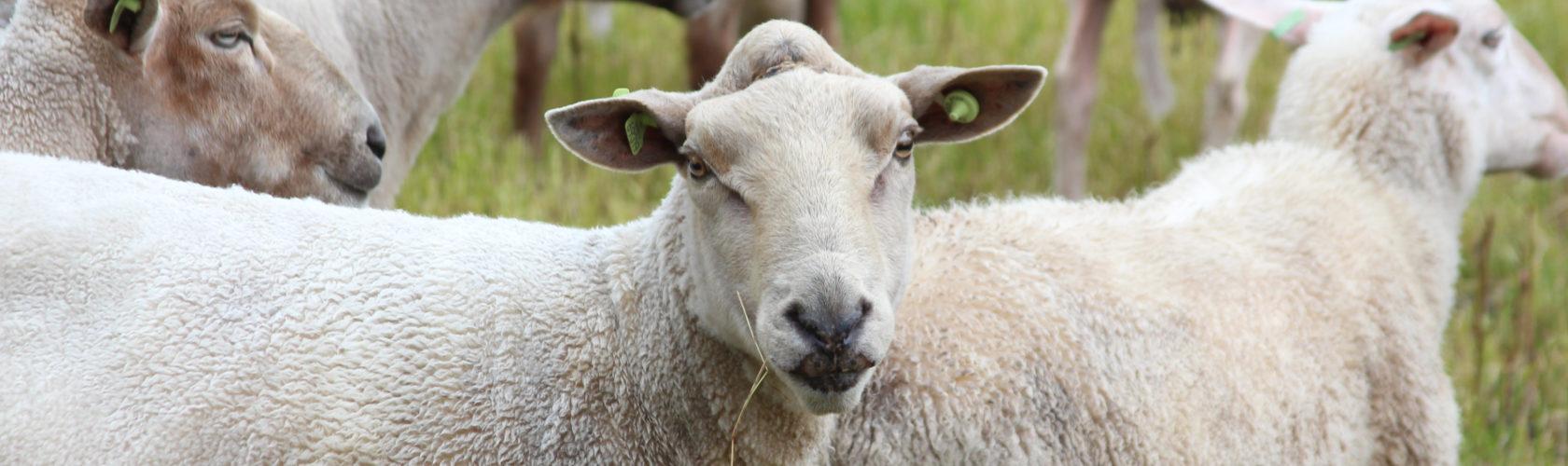 header-schapen