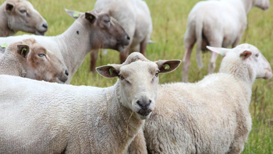 schapen_orginigeel1