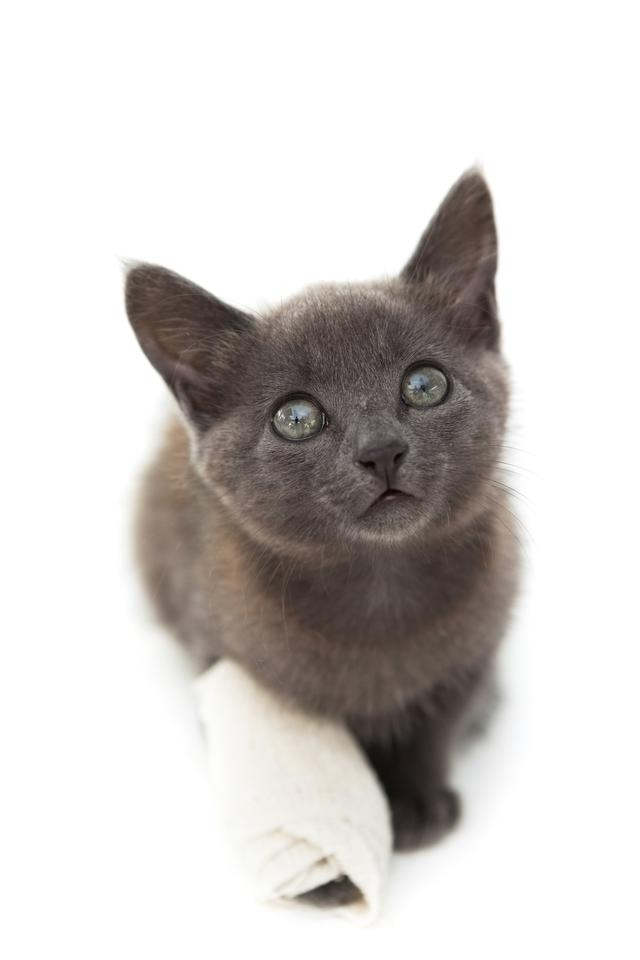 """Grey kitten with a bandage on its paw"" stock image"
