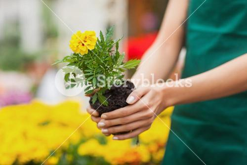 Assistant planting a flower in garden center
