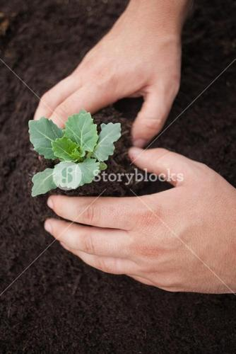 Hands planting a flower