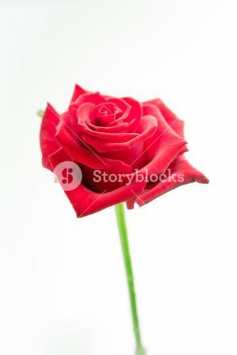 Red rose on stalk
