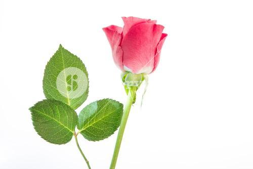 Single pink rose with three leaves