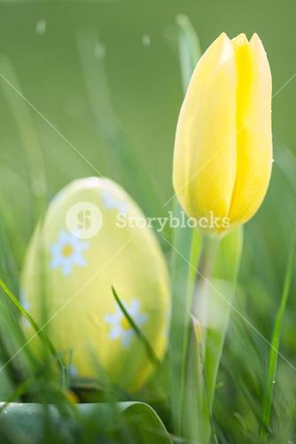 Yellow tulip growing with easter egg
