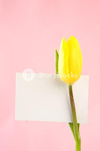 Yellow tulip with a blank white card on a pink background