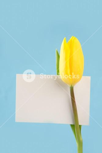 Yellow tulip with a blank white card on a blue background