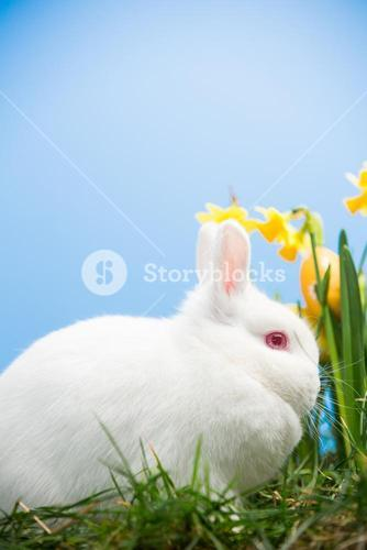 White bunny sitting beside daffodils with easter eggs