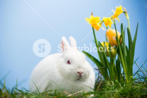White bunny sitting beside easter eggs resting in daffodils