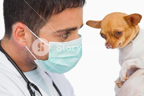 Vet holding chihuahua and wearing protective mask