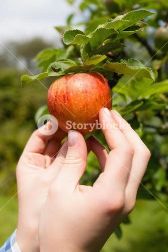 Hand touching apple on a tree