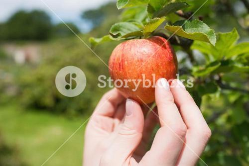 Hand touching red apple on a tree