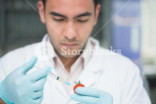 Researcher injecting a tomato